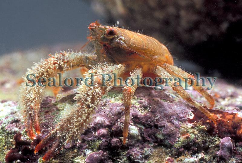Squat lobster, Galathea nexa, found at ELWS in Belle Greve Bay