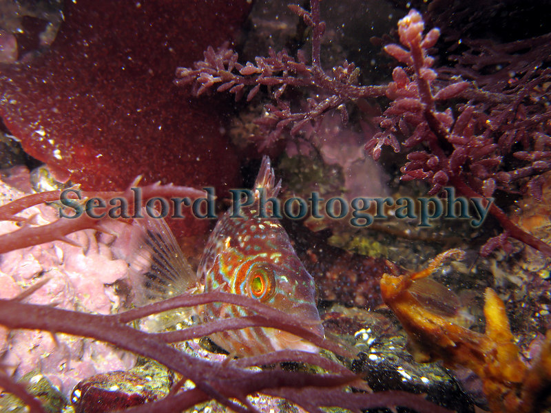 A corkwing wrasse, Crenilabrus melops, partially hides behind a frond of the red seaweed, Calliblepharis jubata, in a Belle Greve Bay tide pool.  The red seaweed, Gastroclonium ovatum, appears above the wrasse and to the right of the image. Photographed with a Canon S80 with an underwater housing on January 5, 2007.<br /> File No. 050107 5425<br /> ©RLLord<br /> fishinfo@guernsey.net