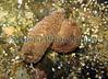 Aeolidia papillosa repro Coralline pool BG 020407 7829 smg