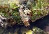 Aeolidiella alderi BG 050307 6824 smg
