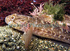 Rock goby, Gobius paganellus, in a Belle Greve Bay tide pool on Guernsey's east coast on 20th February 2007