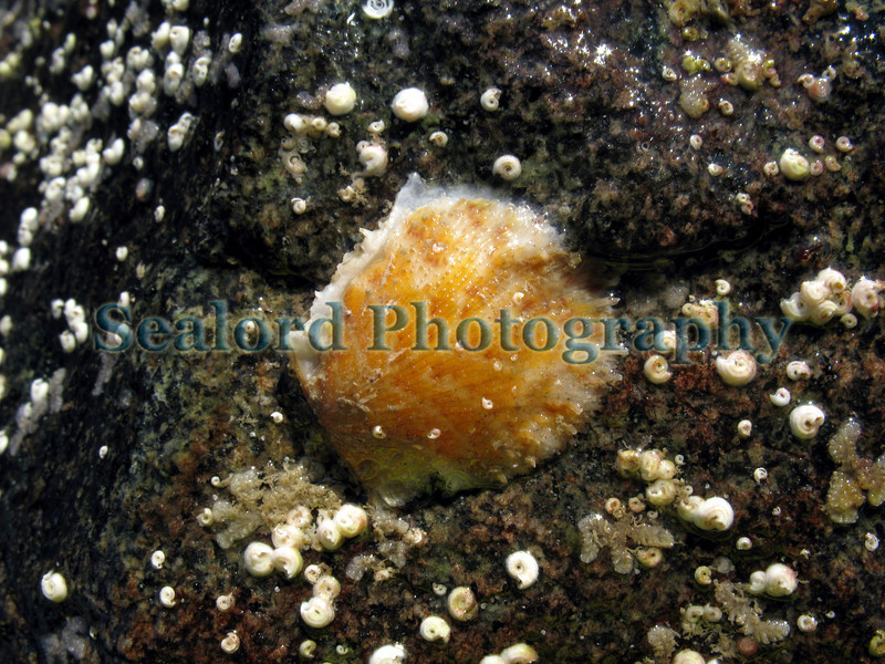 This humpback scallop, Chlamys distorta, is attached to the base of a granite boulder on the lower shore in Belle Greve Bay on Guernsey's east coast.  As an adult the right valve of this scallop is cemented permanently to the substrate it attaches to.  This individual had a shell length of about 3 cm.  It was photographed on the 8 February 2008.<br /> File No. BG 080208 2908<br /> ©RLLord<br /> fishinfo@guernsey.net
