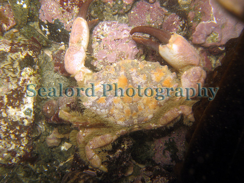 Lesser furrowed crab, Xantho pilipes, in Belle Greve Bay on Guernsey's east coast on 29th March 2006