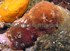 """Two Discodoris planata sea slugs in close proximity to one another in Belle Greve Bay on Guernsey's east coast on the 19 February 2007.  The orange mass in the upper left corner of the image is a sponge.  Dr. Bernard Picton in his excellent book """"A Field Guide to the Nudibranchs of the British Isles"""" writes that the white patches on the mantle of this species are acid glands.  These individuals were found in contact with each other under a boulder at low tide.  There were transfered to the top of a stone for photography.<br /> <br /> File No. BG 190207 6787<br /> ©RLLord<br /> fishinfo@guernsey.net"""