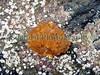 Long-spined sea scorpion egg deposit in Belle Greve Bay on 10 February 2005