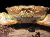 """This large furrowed crab, Xantho incisus, is a resident of what I call 'crater rock pool' in Belle Greve Bay (See  <a href=""""http://sealord.smugmug.com/gallery/1984411#127980518"""">http://sealord.smugmug.com/gallery/1984411#127980518</a> ).  I photographed this animal as it was spreading its clawed arms in a defensive posture.  Photographed in Belle Greve Bay on the 19 February 2007.<br /> File No.  BG 190207 6561<br /> ©RLLord<br /> fishinfo@guernsey.net"""