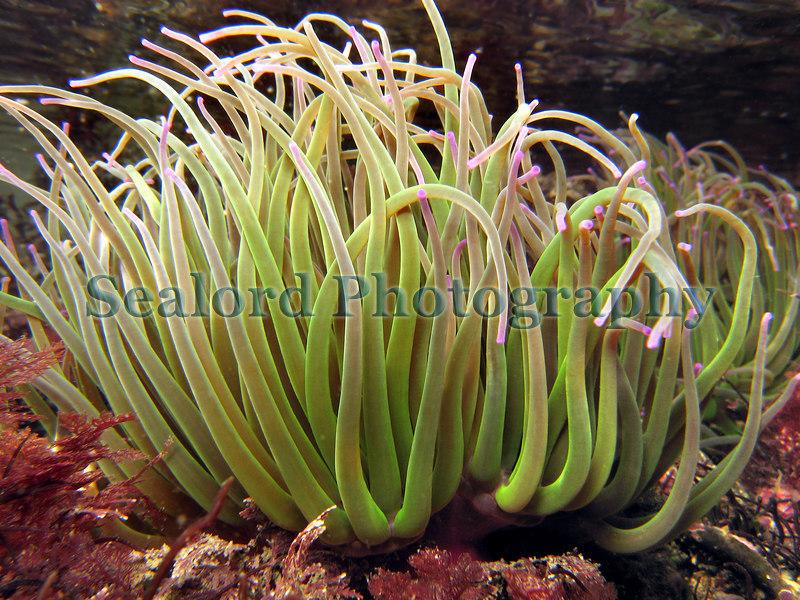 Snakelocks anemone, Anemonia viridis, in a Belle Greve Bay rock pool