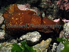 The sea hare, Aplysia depilans, in a tide pool in Belle Greve Bay on Guernsey's east coast
