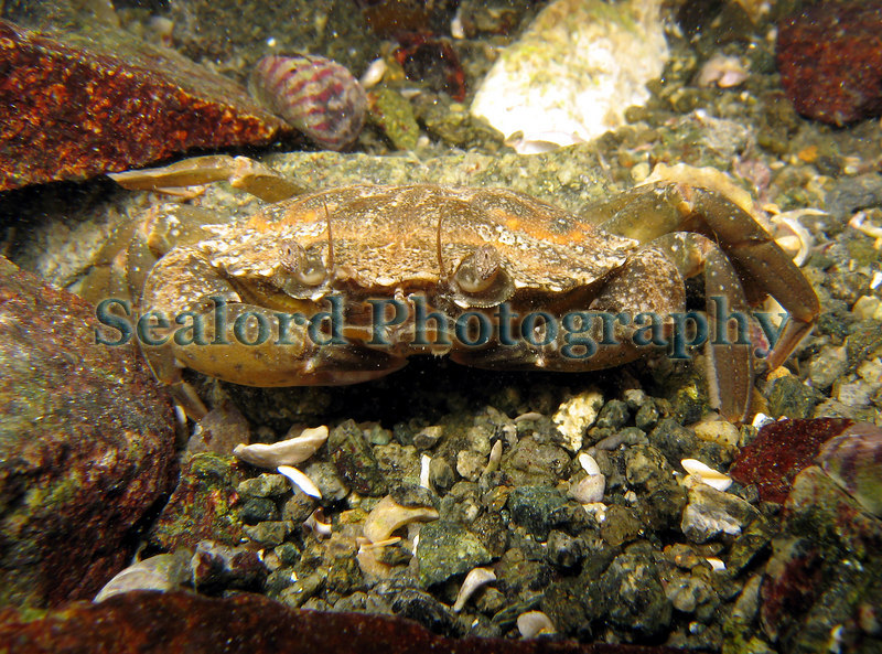 Shore crab, Carcinus maenas, in Belle Greve Bay on Guernsey's east coast on 20th February 2007