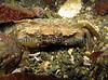 Carcinus maenas BG 200207 6665 smg