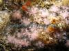 Alcyonium hibernicum Fish Quay pontoon 271207 2136 smg