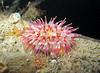 Urticina felina fish quay pontoon 191206 4909 smg