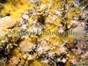 Alcyonium hibernicum fish quay 210907 1125 smg2