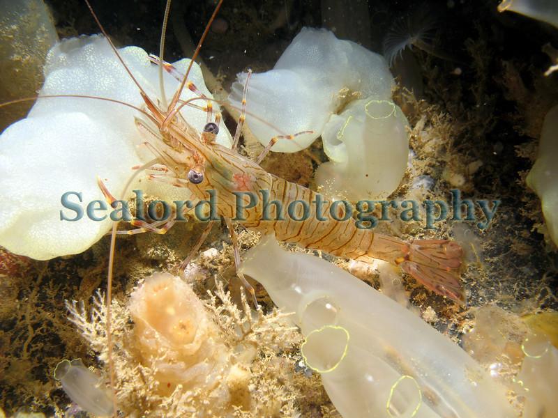 Palaemonid prawn fish quay 210907 1119 smg