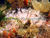 Alcyonium hibernicum fish quay 210907 1074 smg 2
