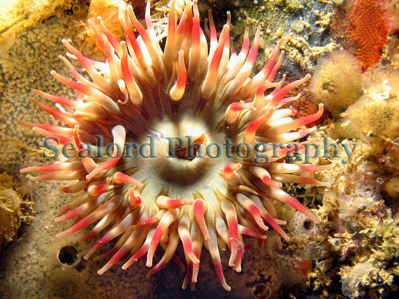 The dahlia anemone, Urticina felina, grows attached to the side of some of the fish quay pontoons in St. Peter Port harbour, Guernsey, Channel Islands. The dahlia anemone is constantly immersed in the sea as the pontoons rise and fall with the tide.  The pontoons attached to the fish quay are bathed in fresh seawater entering the harbour mouth. I have not seen dahlia anemones in the QE II marina, which is separated from the sea by a weir at low tide.<br /> File No. 210907 1116<br /> ©RLLord<br /> fishinfo@guernsey.net