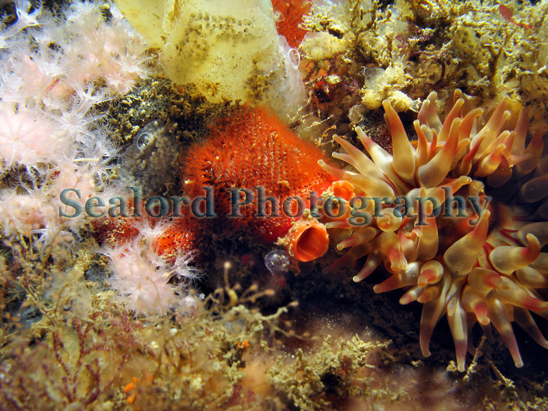 This view of the side of one of the pontoons attached to the fish quay in St. Peter Port harbour, Guernsey shows on the left colonies of the pink soft coral, Alcyonium hibernicum, and on the right a dahlia anemone, Urticina felina.  In the centre of the image ascidian siphons are covered by an orange bryozoan colony.  Emeritus Professor of marine biology John Ryland from Swansea University, Wales has identified this bryozoan as belonging to the genus Watersipora. It is an invasive species that has not been recorded before in the British Isles.  Photographed on the 21st September 2007.<br /> File No. 210907 1086<br /> ©RLLord<br /> fishinfo@guernsey.net