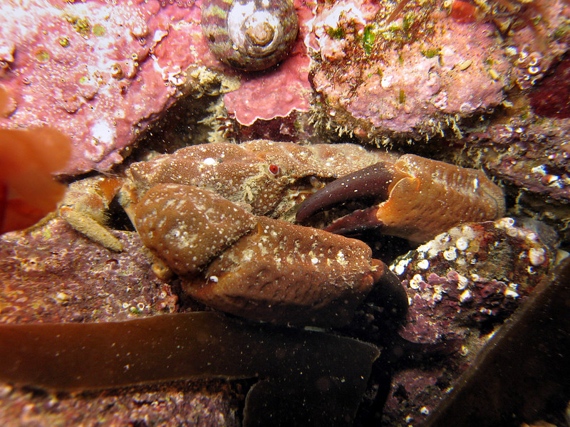 A female furrowed crab, which is also known as Montagu's crab, Xantho incisus, burrying itself under some stones at La Valette on Guernsey's east coast.  Photographed on 31 March 2006.<br /> File No. 310306 556<br /> ©RLLord<br /> fishinfo@guernsey.net
