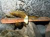 Ligia oceanica pebble beach LaV 100607 591 smg