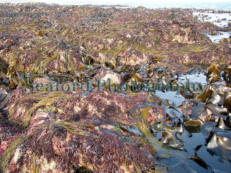 This is an image of the lower shore at La Valette during an extreme low water spring tide (ELWS) looking north along the coast.  Red algae covers the rocks including Palmaria palmata, Mastocarpus crispus, and many other frilly reds. The reproductive thalluses of the pale olive green thongweed, Himanthalia elongata, drape over the rock and brown kelp, Laminaria sp., poke out of the sea on the right of the image.<br /> File No. 172       <br /> ©RLLord<br /> fishinfo@guernsey.net