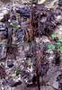 Dumontia contorta seaweed LaV 26-563 V smg