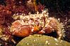 Hairy crab, Pilumnus hirtellus, lives in Guernsey's inter-tidal area