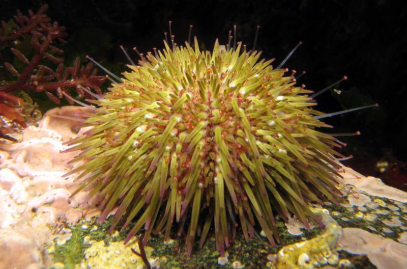 The sea urchin, Psammechinus miliaris, from under a cobble south of the Lihou Island causeway off the west coast of Guernsey. The red seaweed, Gastroclonium ovatum, grows in the upper left-hand corner of the image.   <br /> Photographed on 8 October 2006<br /> File No. 081006 3996<br /> ©RLLord<br /> fishinfo@guernsey.net