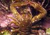 Shore squat lobster, Galathea squamifera, lives under rocks on the Guernsey sea shore