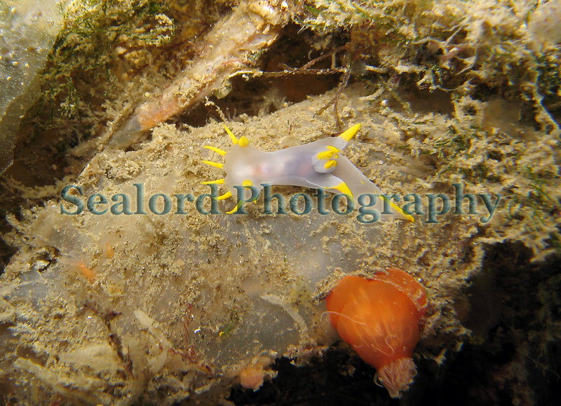 The nudibranch Polycera faeroensis glides over an ascidian looking for food in the Queen Elizabeth 2 marina, St. Peter Port, Guernsey.  A small orange plumose anemone, Metridium senile, has partially withdrawn its tentacles. Photographed on 26 September 2006<br /> File No. 260906 3635<br /> ©RLLord<br /> fishinfo@guernsey.net