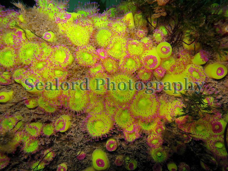 Jewel anemones, Corynactis viridis, growing on  QE II marina pontoon in St Peter Port harbour on 31st May 2006