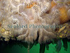 Plumose anemone, Metridium senile, releases eggs into the QE II marina, St Peter Port harbour on 5th June 2006