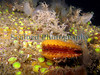 Chlamys varia QEII 160906 34138 smg