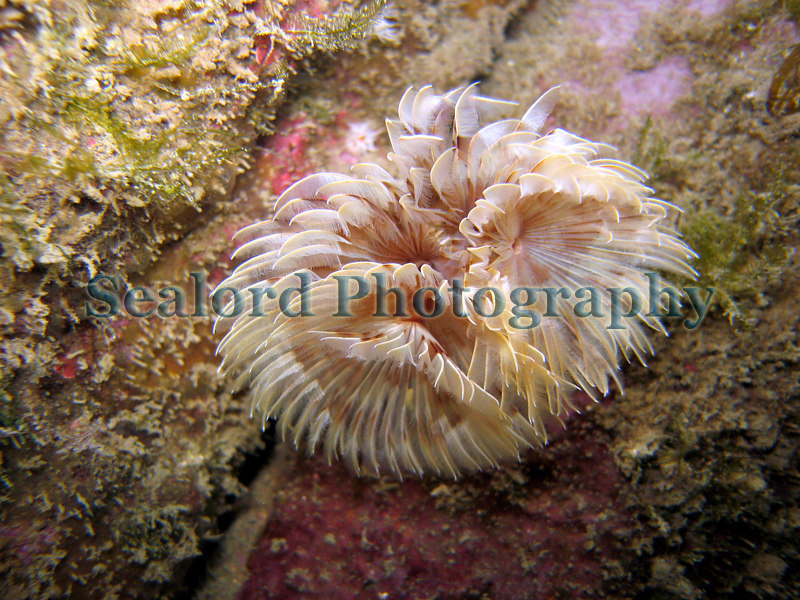 The fanworm Bispira volutacornis grows a tube from a crevice at the base of the granite walls of the Queen Elizabeth 2 marina, St. Peter Port, Guernsey.<br /> File No. 310506 459<br /> ©RLLord<br /> fishinfo@guernsey.net