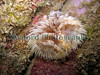 The fanworm, Bispira volutacornis, growing from a crevice on the eastern wall of the QE II marina on 31st May 2006