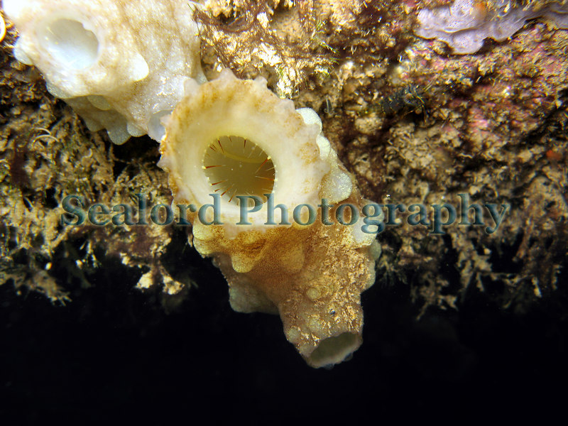 This image shows the large ascidian Phallusia mamillata attached to a concrete pillar in the Queen Elizabeth 2 marina, St. Peter Port, Guernsey.  This image shows the oral tentacles guarding the entrance of the oral siphon.  The atrial siphon is below and to the right. Photographed on 26 September 2006<br /> File No. 260906 3620 <br /> ©RLLord<br /> fishinfo@guernsey.net