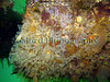 A colony of light-bulb sea squirts, Clavelina lepadiformis, growing on the corner of a pontoon in the Queen Elizabeth 2 marina, St. Peter Port, Guernsey.<br /> Photographed on 5 June 2006<br /> File No. 050606 853<br /> ©RLLord<br /> fishinfo@guernsey.net