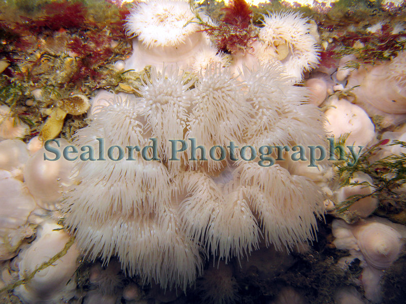 A large plumose anemone Metridium senile growing out from a pontoon in the Queen Elizabeth 2 marina, St. Peter Port, Guernsey.<br /> Photographed on 3 June 2006<br /> File No. 030606 711 <br /> ©RLLord<br /> fishinfo@guernsey.net