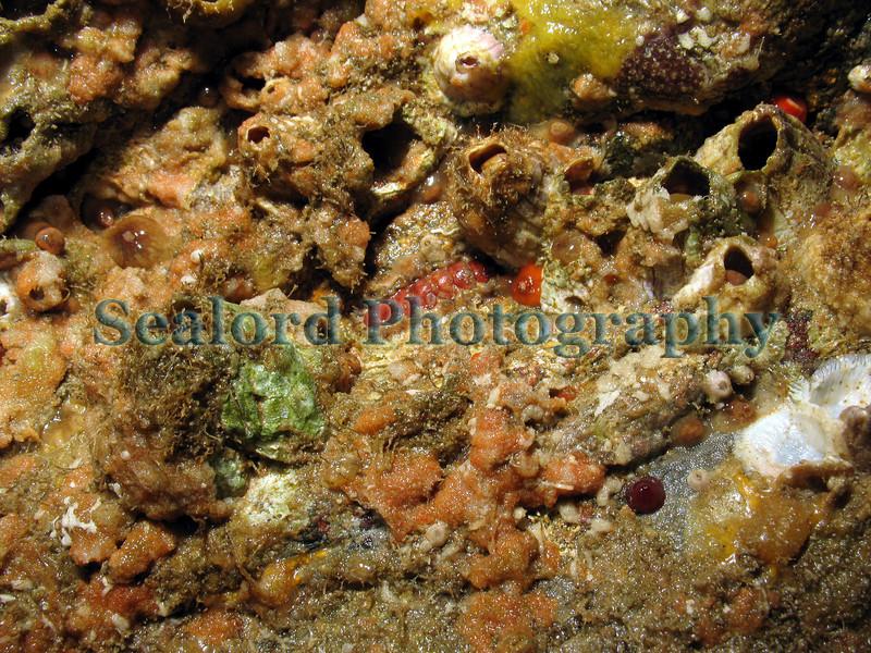 chiton barnacles Gouliot caves 120907 936 smg