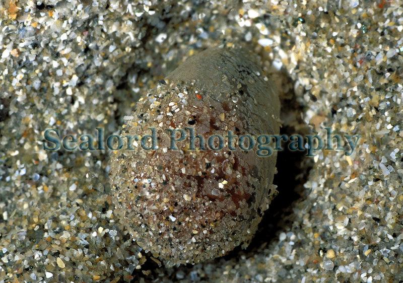 Scoloplos armiger egg case Havelet 220303 1-647 smg