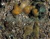 The sea slug Berthella plumula producing a gelatinous mass of fertilised eggs in a tide pool at Albecq on Guernsey's west coast