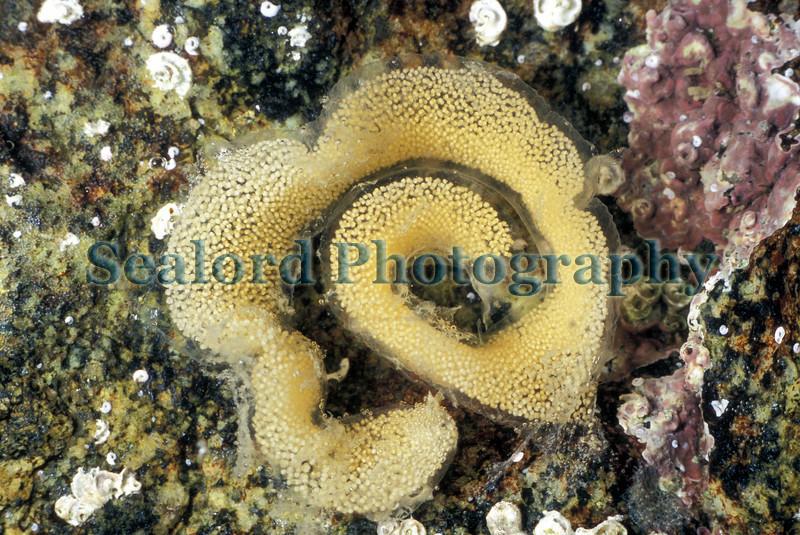 Sea slug Berthella plumula spawn in the inter tidal area of Belle Greve Bay on Guernsey's east coast