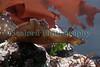 Aplysia punctata BG 140209 1802 smg