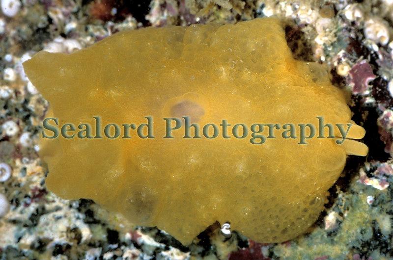 The sea slug, Berthella plumula, on the sea shore at La Valette on Guernsey's east coat