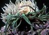 Aeolidia papillosa eating snakelocks anemone 2-722 smg