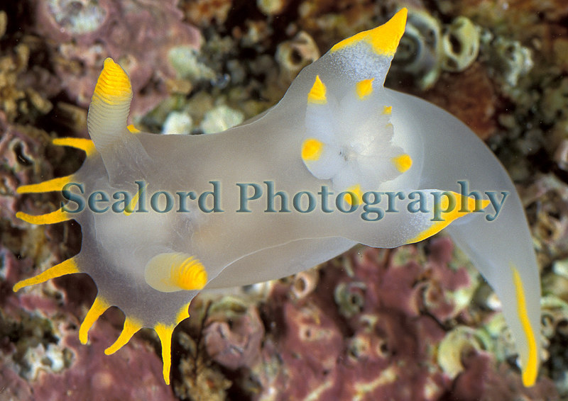 The nudibranch Polycera faeroensis found in a Clive Brown crab pot off Guernsey's south coast