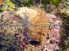 Aeolida papillosa glides over crustose coralline algae in Belle Greve Bay