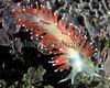Sea slug Coryphella browni from a Clive Brown crab pot off Guernsey's south coast