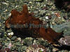 The sea hare, Aplysia depilans, in a Belle Greve Bay tide pool on 25 January 2008