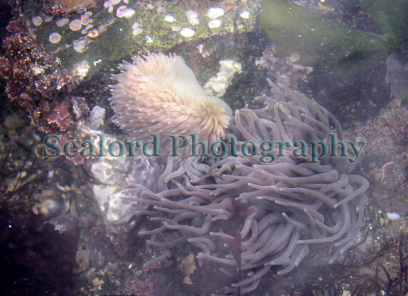 The nudibranch Aeolidia papillosa attacking a snakelocks anemone in Belle Greve Bay