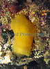 The sea slug Berthella plumula in a tide pool in Belle Greve Bay on Guernsey's east coast